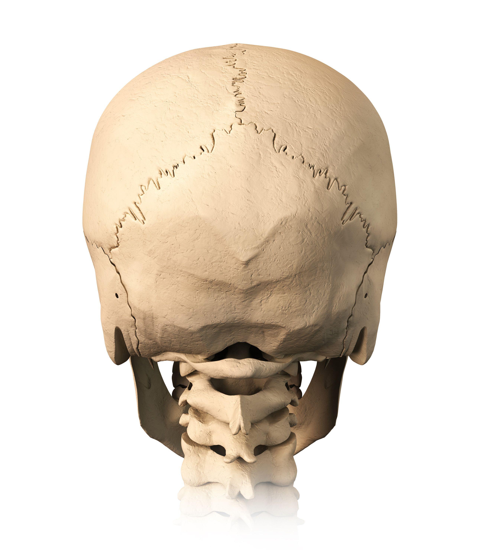 back of skull - Google Search | Anatomy Face | Pinterest | Anatomy