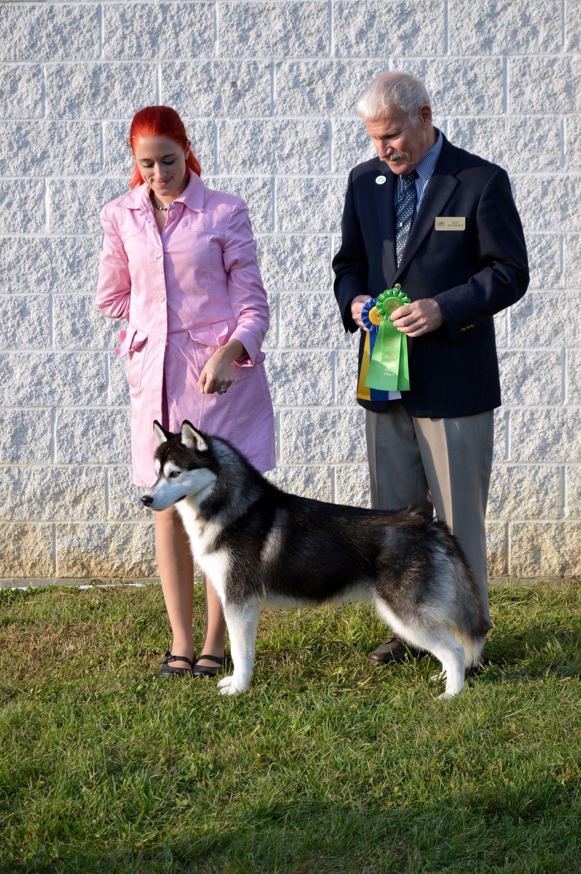 Black White Siberian Husky Male Joker Winning Best Of Breed