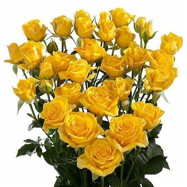 Rose Spray Marisa 50cm Is A Beautiful Yellow Multi Headed Rose Plan For Your Upcoming Wedding Or Event Now With Triangle Nursery Rosas Blancas Rosas Flores