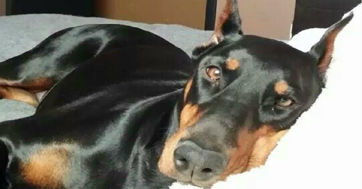 20 Things All Doberman Pinscher Owners Must Never