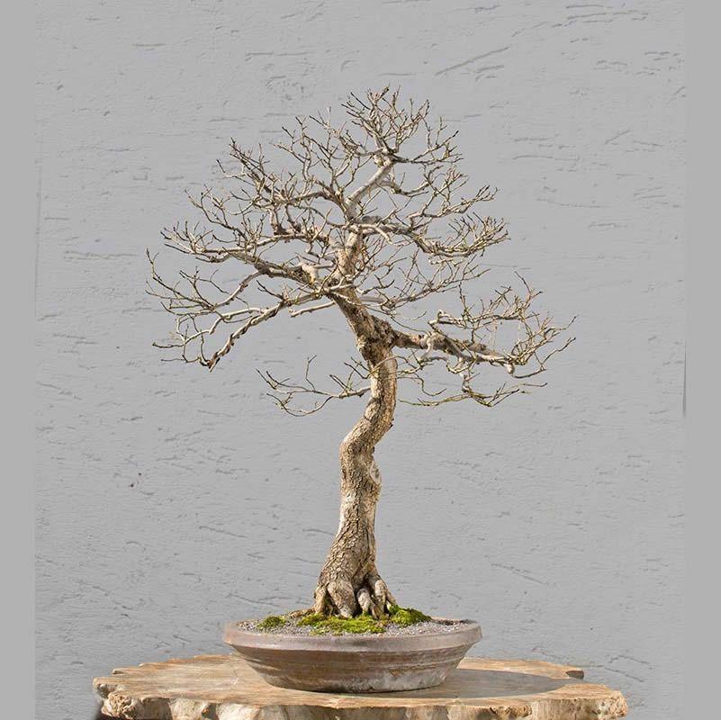 This Bonsai Tree Looks Dead But It Isn T Bonsaijack Bonsai Bonsai Tree Bonsai Bonsai Styles