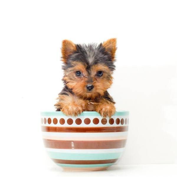 Teacup Jessica Free Shipping Yorkie Yorkie Dogs Teacup Animals