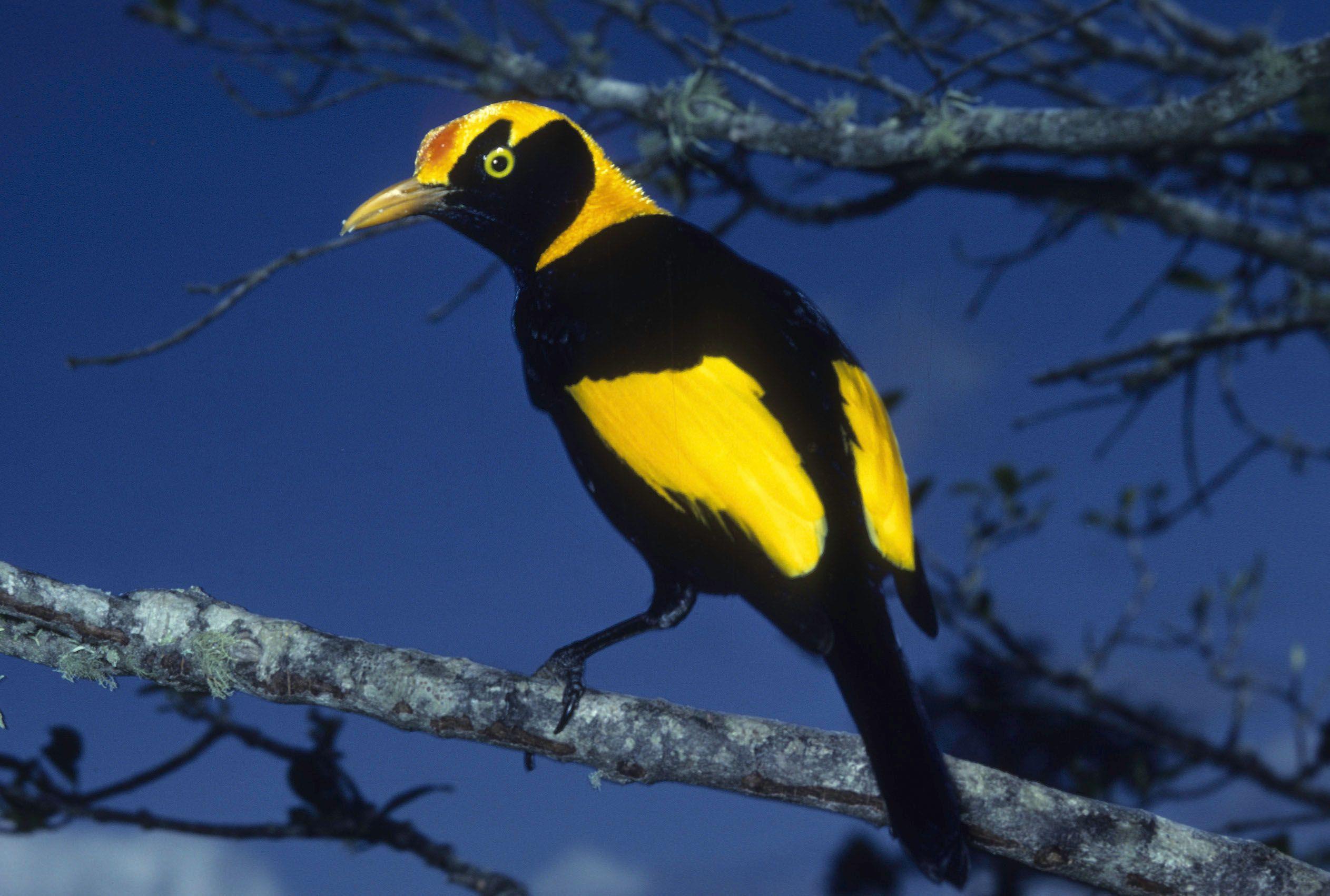 Regent Bowerbird Birds, Animals, Creepers
