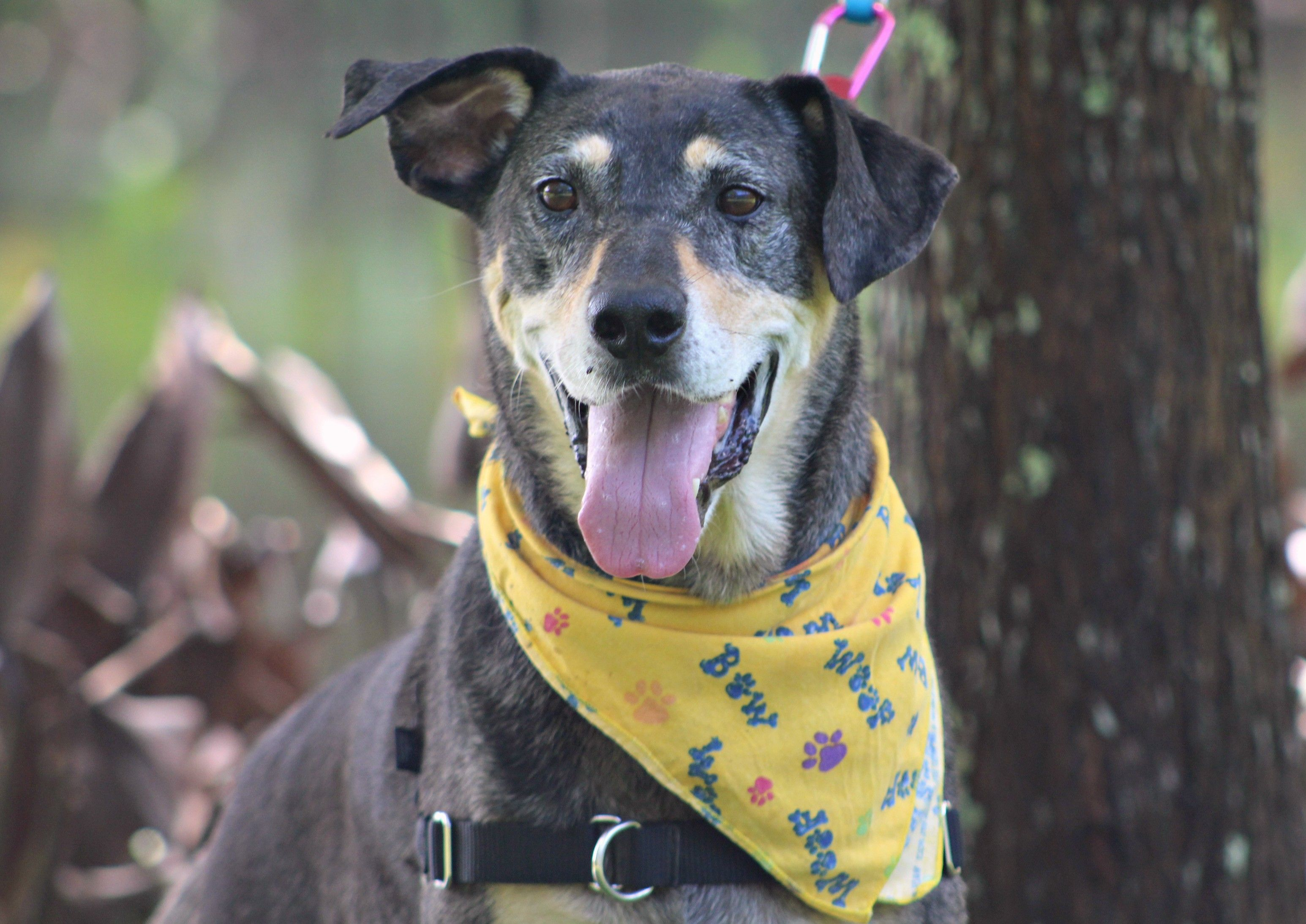 Catahoula Leopard Dog dog for Adoption in Ocean Springs