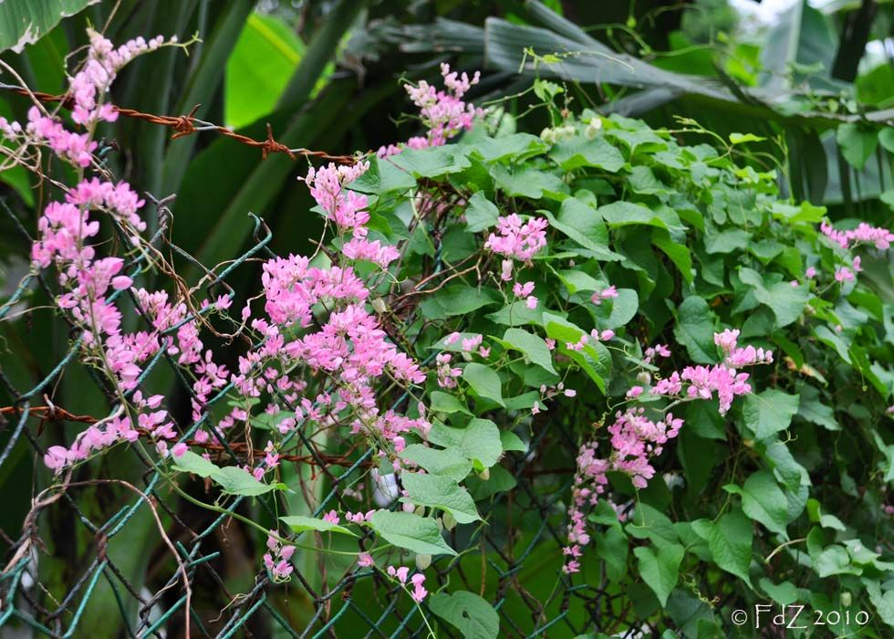 Antigonon leptopus commonly known as mexican creeper chain of love commonly known as mexican creeper chain of love cadena de amor vine or san miguelito vine native to mexico it is a vine with pink or white flowers mightylinksfo