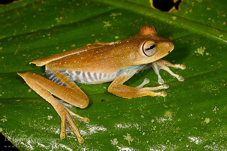 Convict Tree Frog (Hypsiboas calcarata)