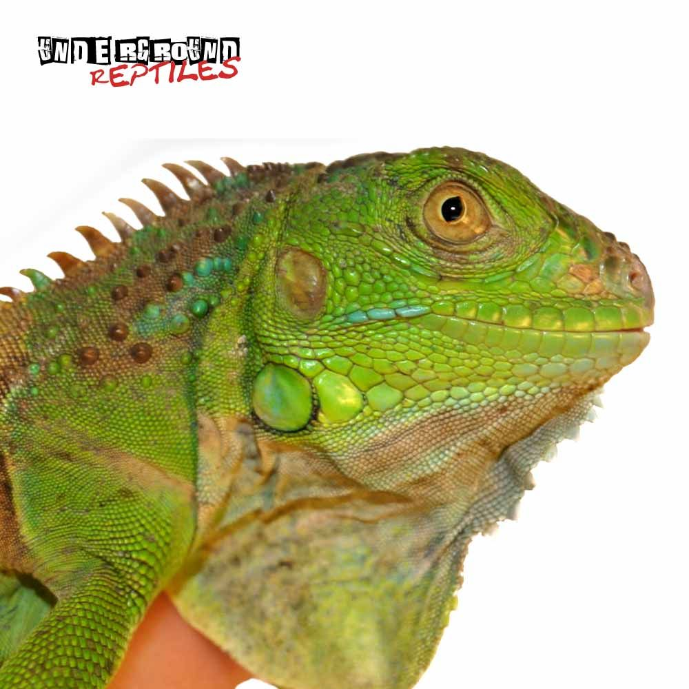 Underground Reptiles Supplies Some Of The Best Iguanas For Sale Including Green Red