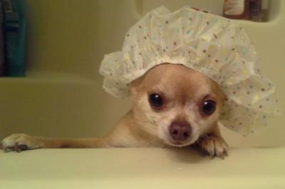 Pin En Aye Chihuahua