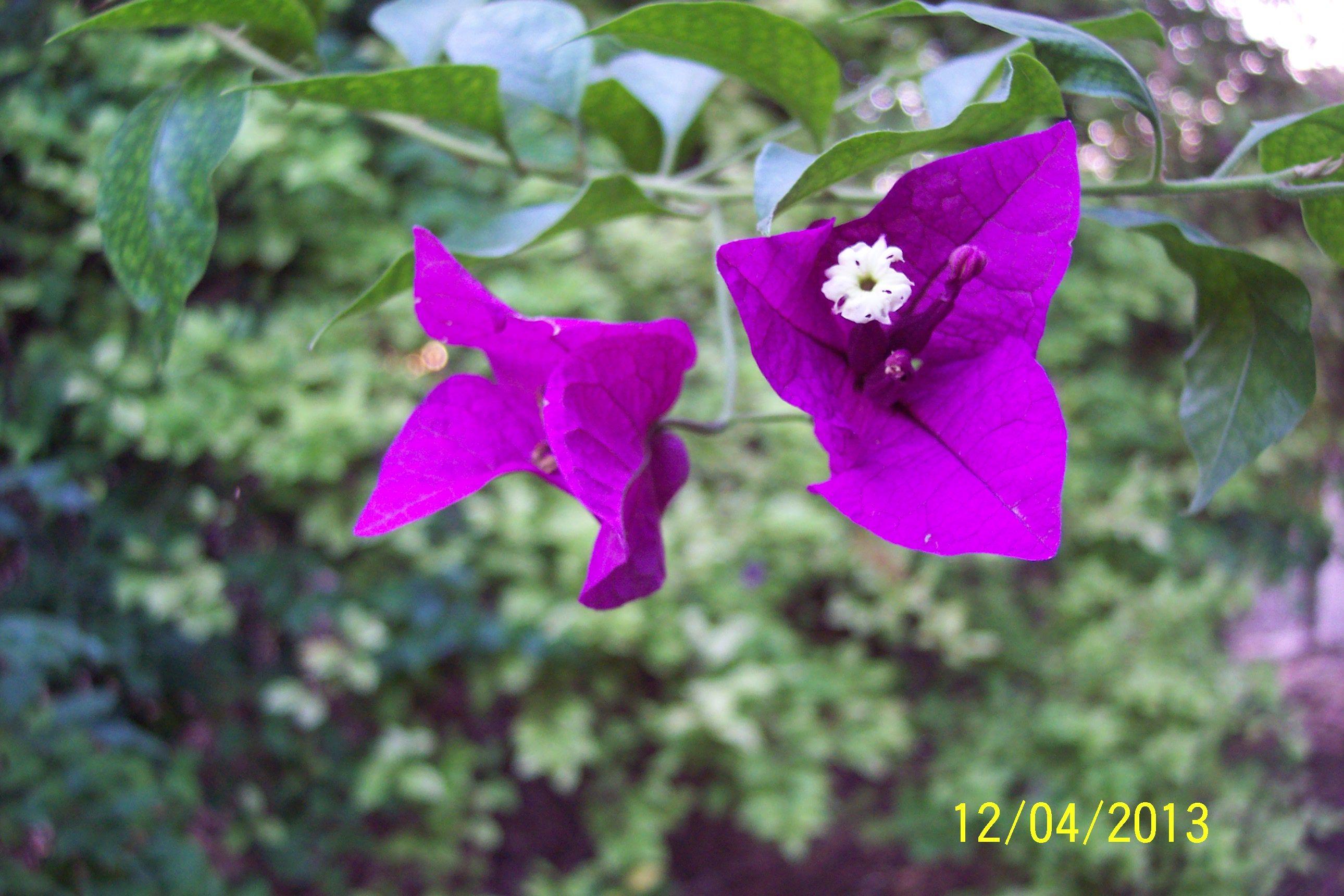 Bougainville Fleur dedans bougainvillea-magnifica-closeup-130412 (2580×1720
