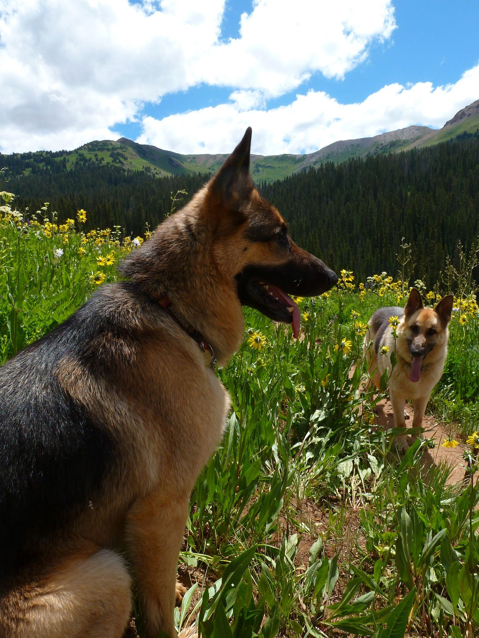 "German Shepherd in open air.... ""The hills are alive with the sounds of German Shepherds!"""