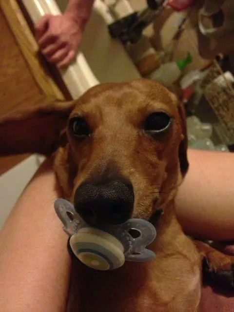 19 Dogs Who Aren T Ready To Give Up Their Pacifiers Dogs