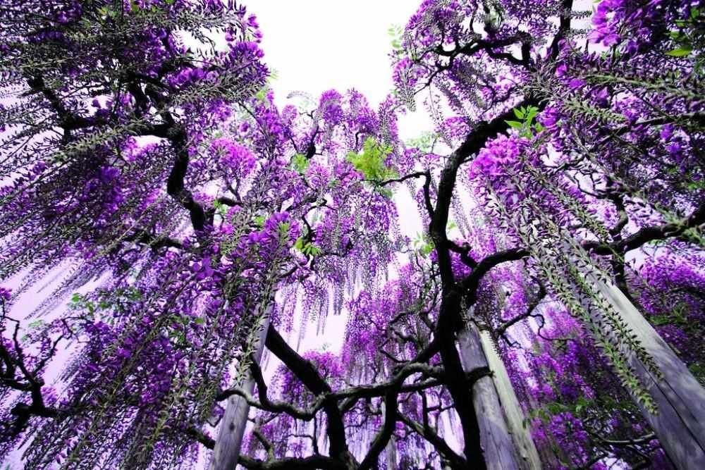 Ashikaga S Flower Park Japan Located 50 Miles North Of Tokyo This Park Contains The Country S Largest And Wisteria Tree Amazing Nature Photos Purple Trees