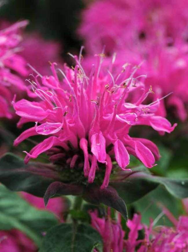 Monarda Balmy Rose -- Bluestone Perennials #mosquitoplants