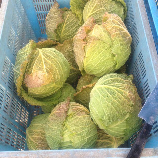 ちりめんキャベツ収穫なう。 Savoy cabbage
