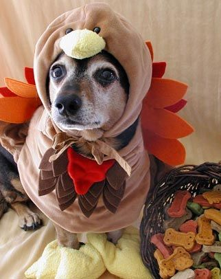 Happy thanksgiving for all my Americans out there! Enjoy this dog in a turkey costume! & Thanksgiving Day Dog Safety Tips   Dog Safety   Pinterest   Dog ...