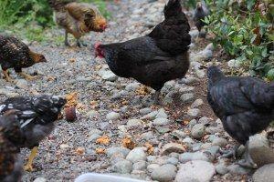 pecking for scraps