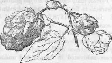 Immagine di http://chestofbooks.com/flora-plants/weeds/Wild/images/Hop-Humulus-lupulus-Female-blossom.jpg.