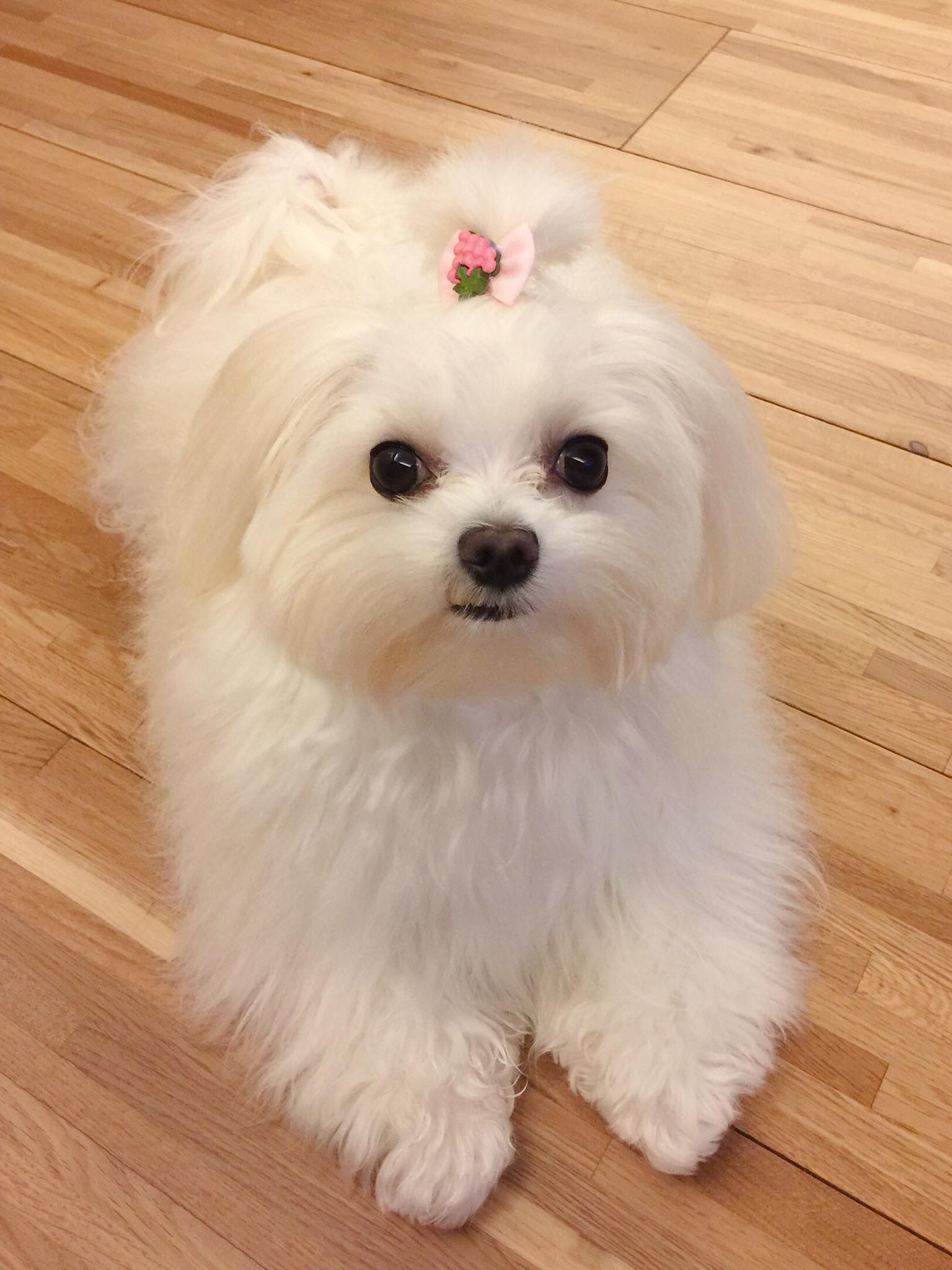 Pin By Becky Hilliard On Maltese Cute Dogs Little Dogs Cute