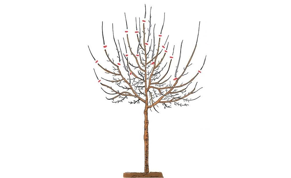 pflaumenbaum richtig schneiden pflaumenbaum die krone. Black Bedroom Furniture Sets. Home Design Ideas