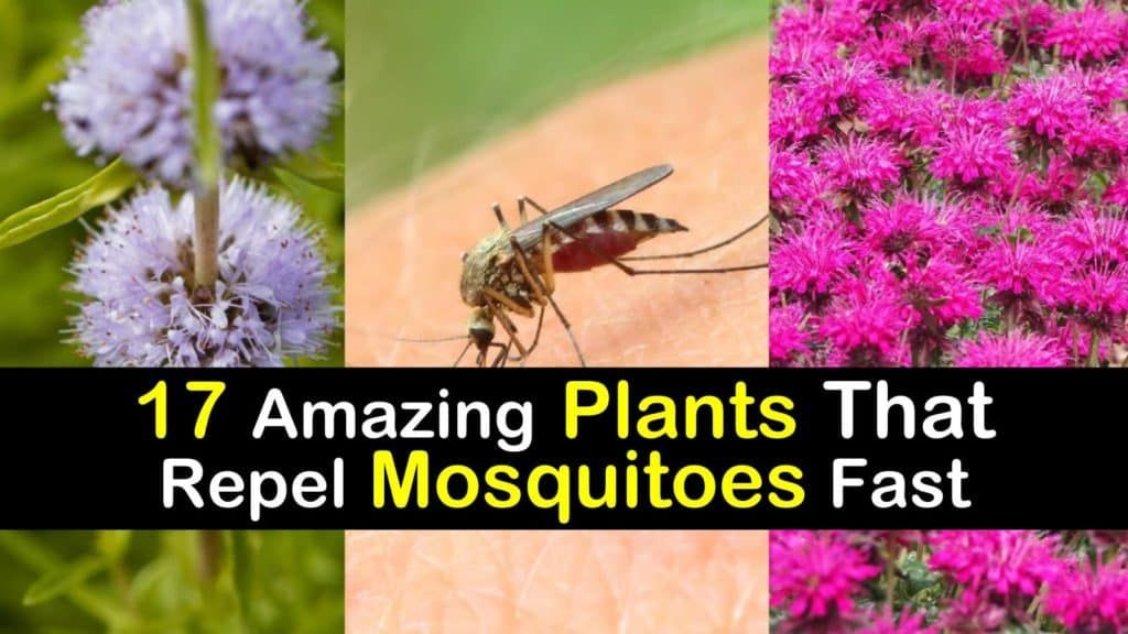 17 Amazing Plants that Repel Mosquitoes Fast #plantsthatrepelmosquitoes