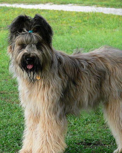 Briard Dog Breeds Purebred Dogs
