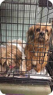 Shih Tzuyorkie Yorkshire Terrier Mix Dog For Adoption In Newport