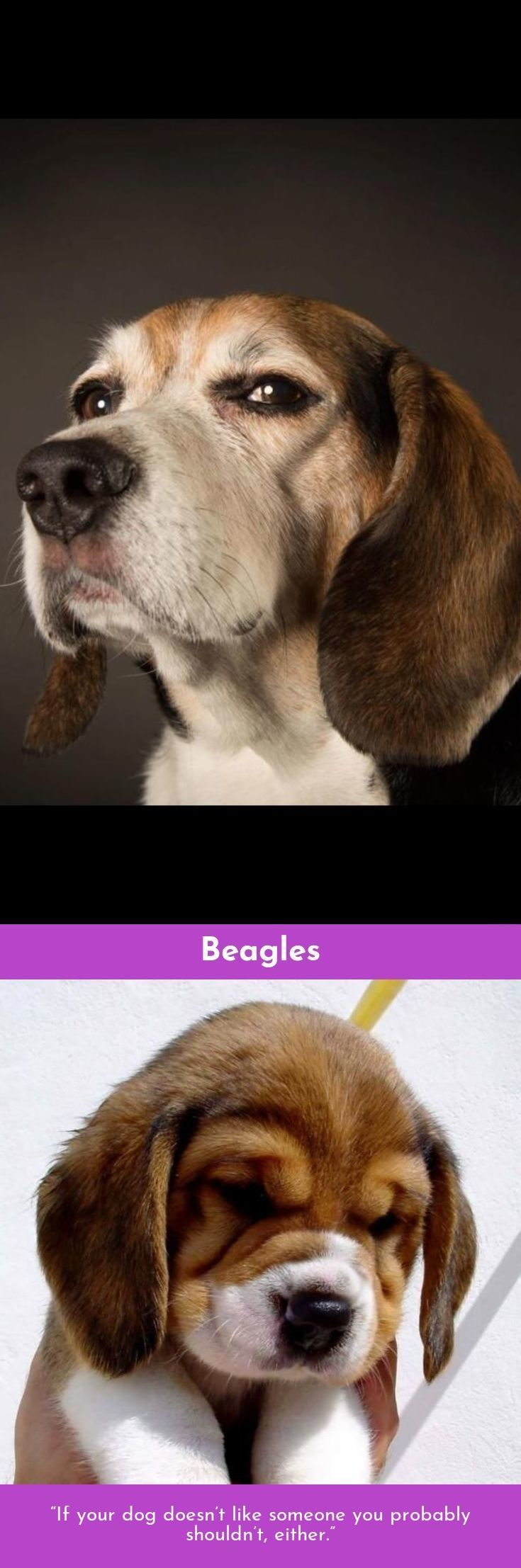 Beagle – Friendly And Curious