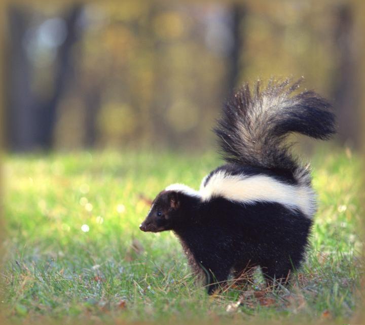 Skunks How To Get Rid Of Skunks In The Garden The Old Farmer S Almanac In 2020 Getting Rid Of Skunks Skunk Smell Dog Urine