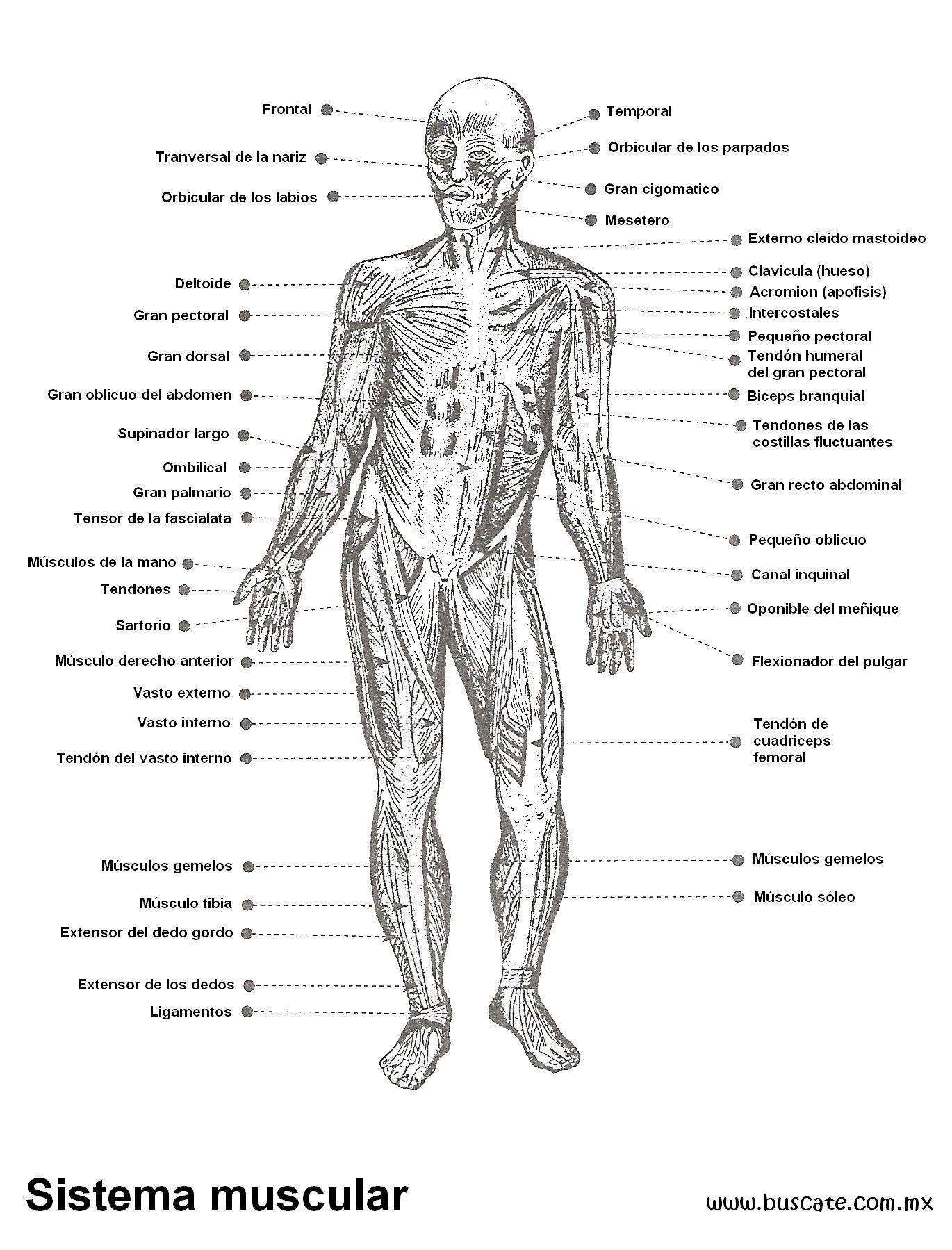 Esquema del sistema muscular con los nombres de sus partes ...