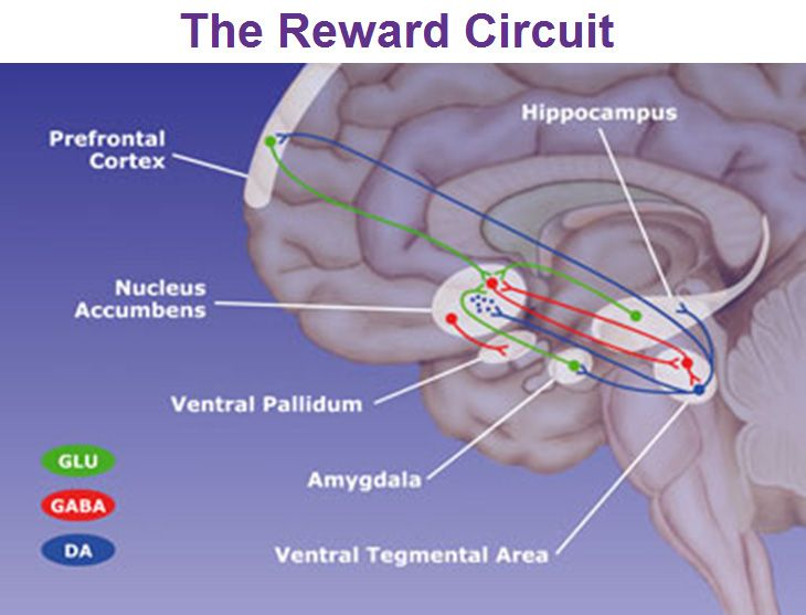 the reward circuit nucleus accumbens ventral pallidum ventral ...