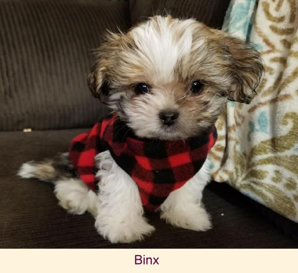 Mi Ki Breeder Toy Dog Puppies For Sale In South Bend In My