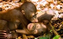 Orphaned orangutans Rickina and Ricky play in the shade at a rehabilitation centre in the rainforest jungle of Western Borneo.