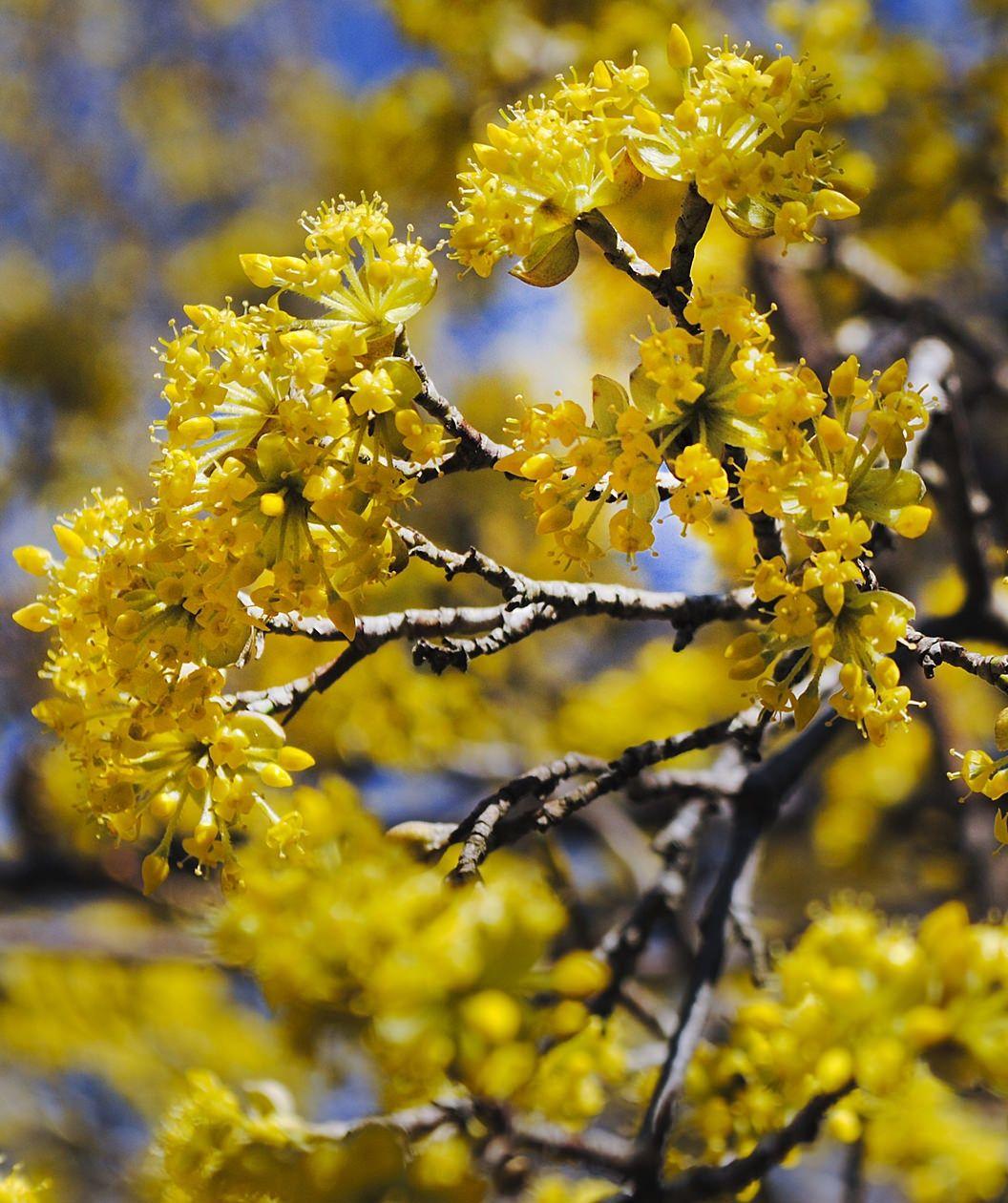 Cornelian Cherry Dogwood Bower Branch Winter Plants First Flowers Of Spring Dogwood