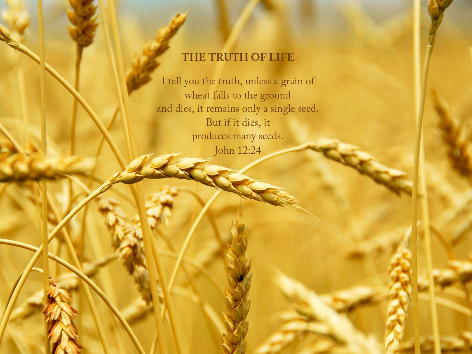 a grain of wheat Parable of the grain of wheat is an allegory on resurrection, sacrifice, and ego death, given by jesus in the new testament (the gospel of john narrative from.