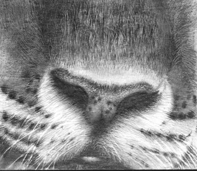 Drawing realistic tiger with pencil nose onlypencil drawing tutorials