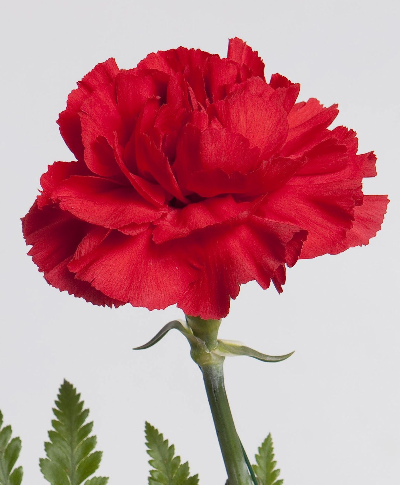 Ohio's state flower the red carnation Carnations