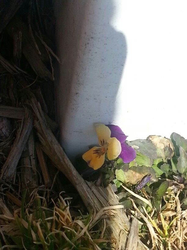 I prayed to God to show me a sign that the darkness was over.  I stood outside and saw a single pansy growing in the crack of a fence.  That little flower grew beautifully in that dark cold corner...God is growing me in that darkness as well.