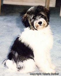 Tibetan Terriers Tibetan Terrier Pitbull Terrier Hairy Dog