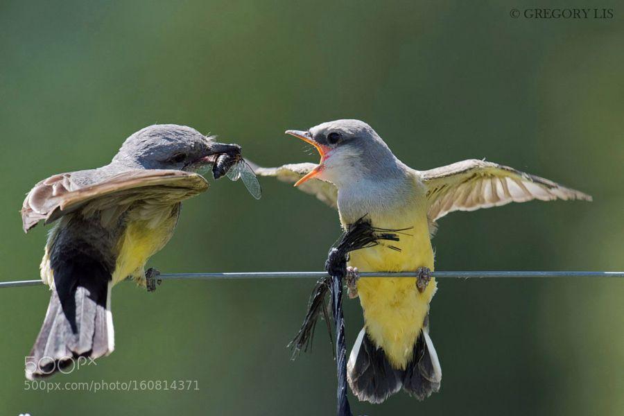 Open Wide Western Kingbird by grzegorz_lis1 via http://ift.tt/294I2HC