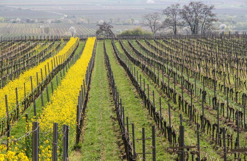 Beautiful spring in the Pfalz vineyards.