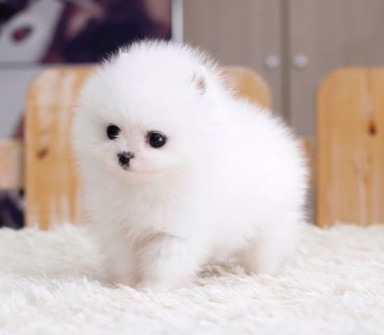 Gorgeous Tiny Micro Pomeranian Puppies For Adoption Pomeranian