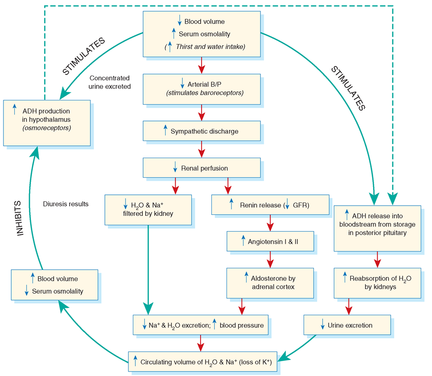 Concept Map Renin Angiotensin Aldosterone Mechanism.Fluid Regulation Cycle Including Antidiuretic Hormone Adh And The
