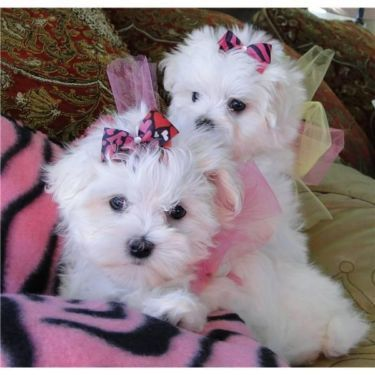 We Have 1 Male And 2 Female 8 Week Old Maltese Puppies These Precious Babies Will Be Ready To Go To Their Forever Homes On With Images Maltese Puppy Maltese Dogs Puppies