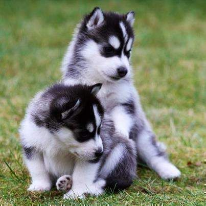 Northern Siberia Siberian Husky Puppies For Sale Northern