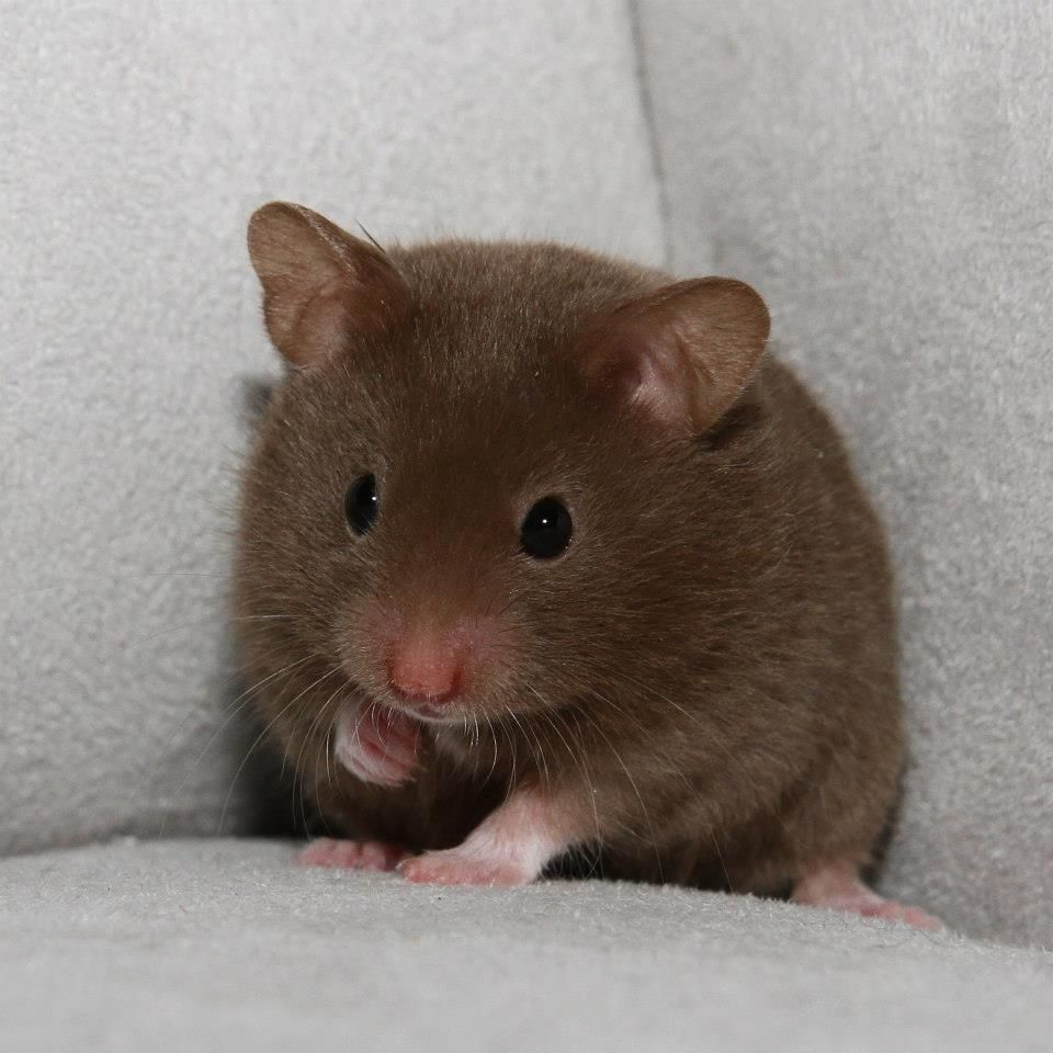 brown teddy bear hamster