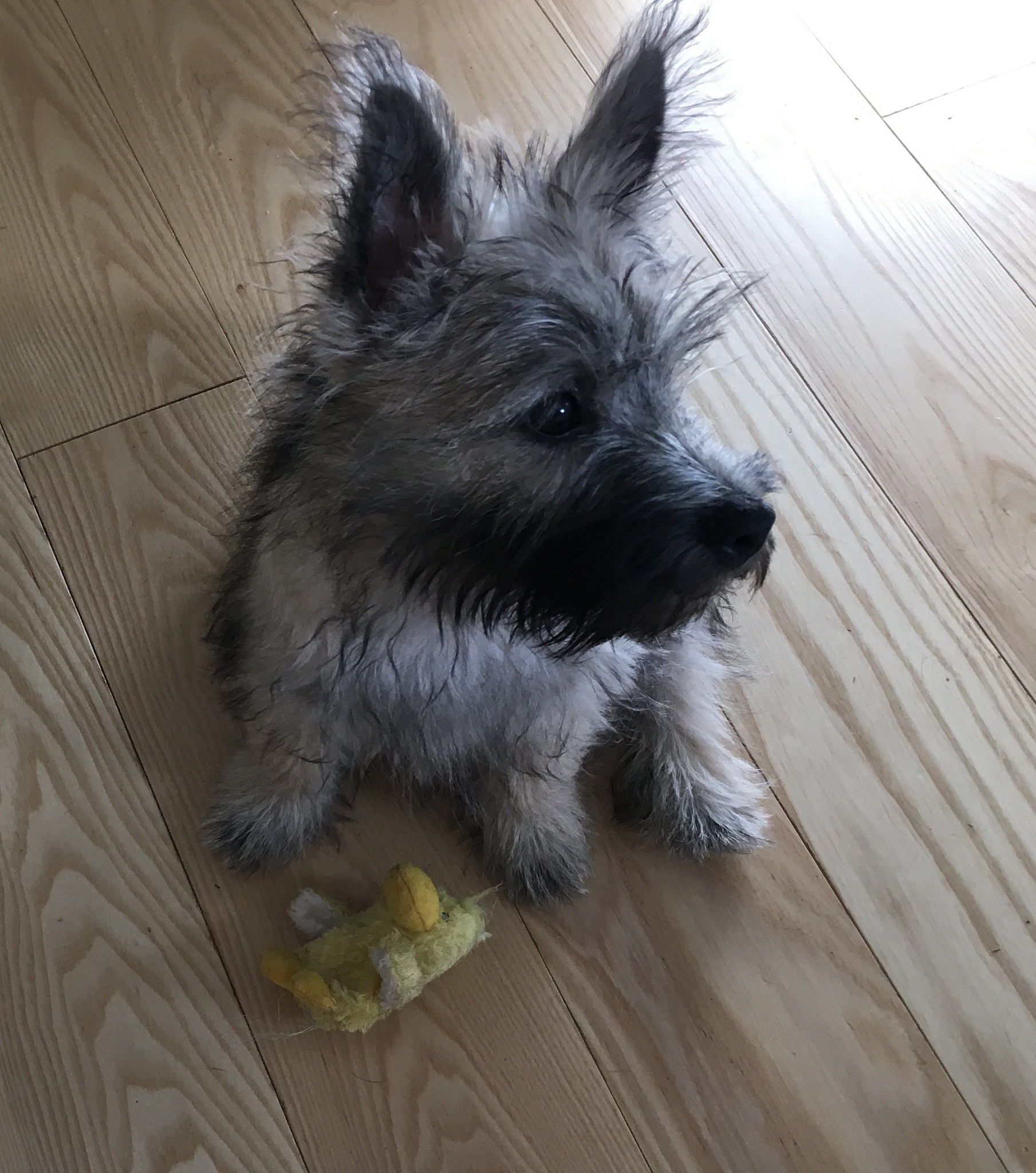 Train Your Dog Not To Run Out An Open Door Or Gate Cairn Terrier