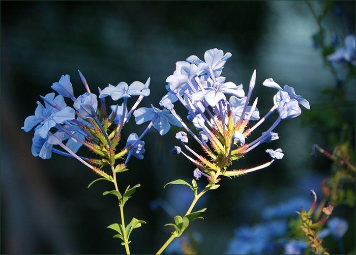blaue blumen im august jahreszeiten galerie community pflanzen bl ten pinterest. Black Bedroom Furniture Sets. Home Design Ideas