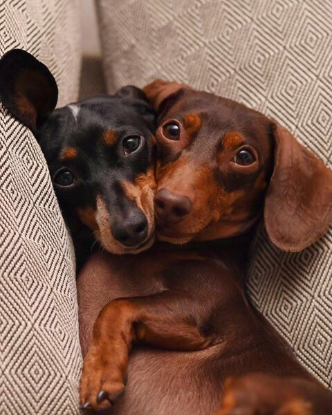 Snuggling Dachshunds Weenie Dogs Sausage Dog Dachshund Love