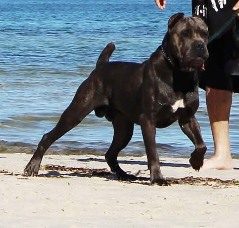 Ddd Italian Cane Corsos Upcoming Mating S Cane Corso Cane Corso Dog Cane Corso Italian Mastiff