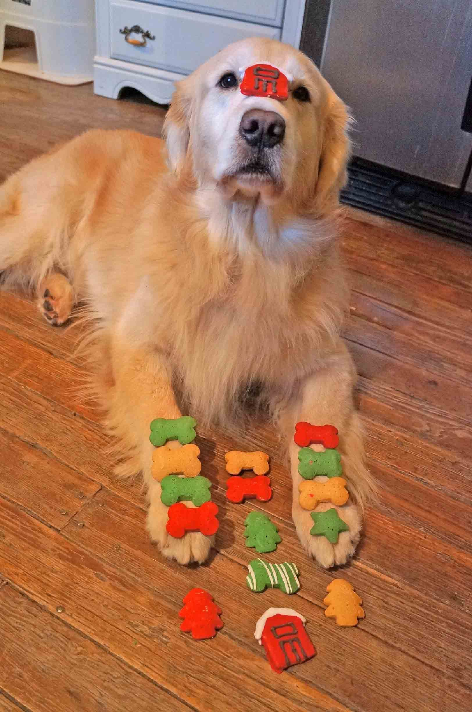 Such Good Concentration Jack Dogs Golden Retriever I Love Dogs